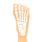 足の骨イラスト