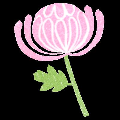 ピンクの菊の花イラスト