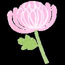 ピンク色の菊の花イラスト